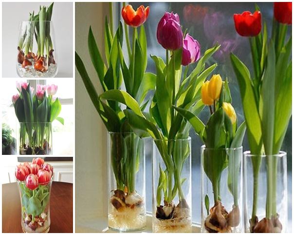 Как вырастить тюльпаны?