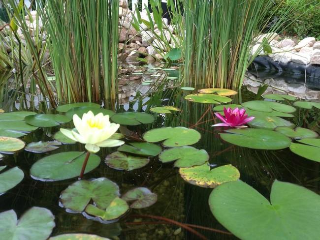 Лилии для пруда
